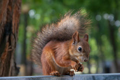Eating Squirrel. Stock Photography