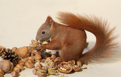 Eating squirrel Stock Image