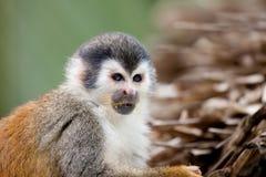 Eating squirrel monkey stock photo