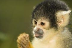 Eating Squirrel Monkey Stock Image