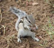 An eating squirrel Royalty Free Stock Image