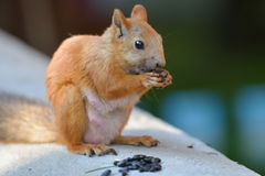 Eating squirrel Royalty Free Stock Photo