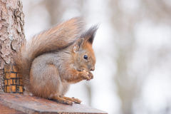 Eating Squirrel. Red squirrel eating a walnut Royalty Free Stock Image