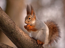 Eating squirrel sitting on the tree Royalty Free Stock Photos