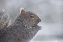 Eating squirrel on the snow. An eating squirrel is standing on the snow, and showing its right side to the camera Stock Images
