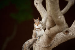 Eating squirrel. An squirrel is standing on the tree, while holding something and facing to the camera Royalty Free Stock Photo