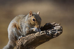 Eating squirrel. Tree squirrel that is furiously eating some sunflower seeds Stock Images