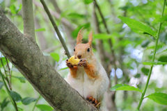 Eating squirrel on tree in park Royalty Free Stock Photo