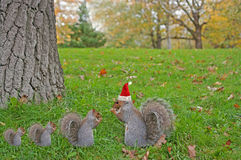 Eating squirrel wearing red Christmas hat sitting on the grass Royalty Free Stock Image