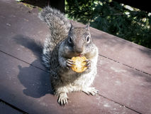 Eating squirrel in Yosemite Valley Royalty Free Stock Image