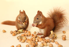 Eating squirrels. Little squirrels eating a nut royalty free stock image