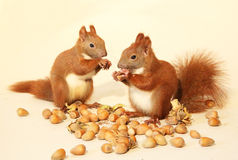 Eating squirrels. Little squirrels eating a nut stock images