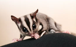 Eating sugar glider (Petaurus breviceps) Stock Image