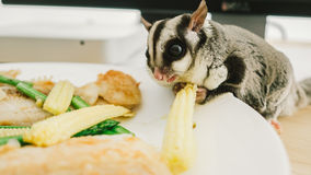 Eating Sugar Glider Stock Images