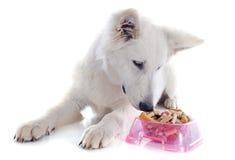 Eating Swiss shepherd Royalty Free Stock Photography