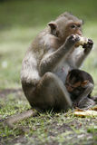Eating time. Monkey in a historical park at Asia Stock Images