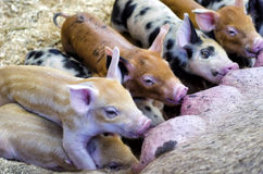 Eating time. A bunch of piggies eating Royalty Free Stock Images