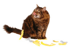 Eating time for cute cat Royalty Free Stock Photo