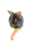 Eating time for lion rabbit 2 Royalty Free Stock Image