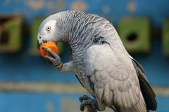 Eating time a parrot is eating royalty free stock photos