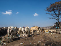 TPU Putri Cempo. Some Cows eating trash at Putri Cempo landfill. This photo was taken at TPU Putri Cempo, Mojosongo, Surakarta, Indonesia. 10/3/2014 Stock Photos