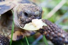 Eating tortoise Stock Photo