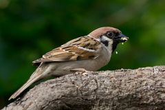 Eating Tree Sparrow Royalty Free Stock Image