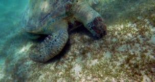 Eating Turtle stock footage