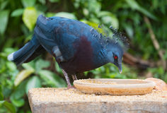 Eating Victoria crowned pigeon Goura victoria Royalty Free Stock Photography
