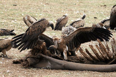 Eating vultures Stock Images