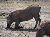 Eating warthog in Chobe National Park. Chobe National Park, Botswana-August 18, 2016:The beautiful Chobe National Park is found in the north of Botswana. It is Stock Image