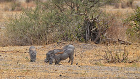 Eating Warthogs Royalty Free Stock Images