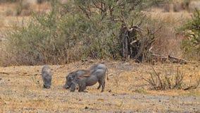 Eating Warthogs Royalty Free Stock Images