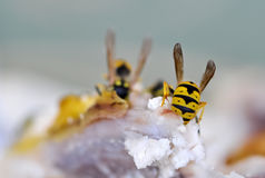 Eating wasps Royalty Free Stock Photos