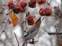 Eating Waxwing. Cedar waxwing feeding on last fall's crabapples Stock Photography