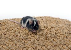 Eating wheat mouse Stock Images