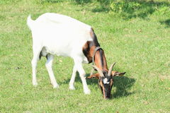 Eating white and brown goat. White and brown goat standing and feeding on green grass Stock Photo