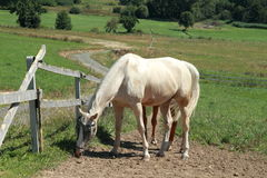 Eating white horse. White horse eating the grass stock photo