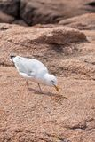 Eating White Seagull Royalty Free Stock Images