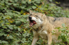 Eating Wolf ( Canis lupus ) Royalty Free Stock Photography