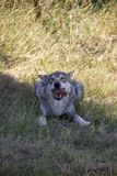 Eating wolf. stock image