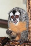 Bolivian night monkey. The eating young bolivian night monkey Stock Images
