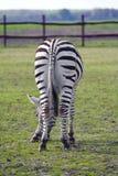 Eating Zebra Royalty Free Stock Photography