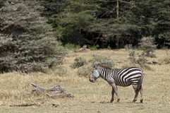 Eating zebra Royalty Free Stock Photos