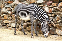 Eating zebra Stock Photo
