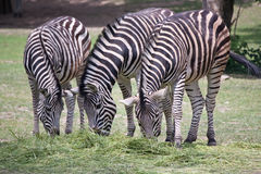 Eating zebras. Three zebras (Chapman's Zebra) eating grass at zoo Royalty Free Stock Images