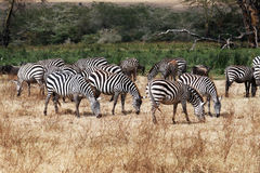 Eating zebras Stock Images