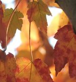 autumn leaves tennessee royalty free stock photos