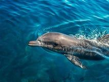 Eau de mer de dauphin en clair Photo stock