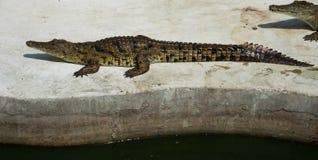 Eau de mer Thaïlande de crocodile Photographie stock